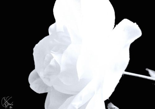 white flower (resubmission) by spex006