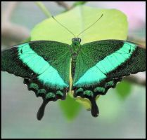 Emerald Swallowtail by craftworker