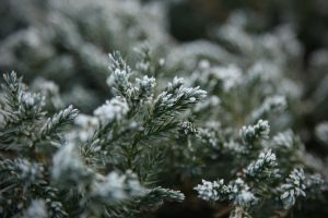 Icy bush by piotrkol91
