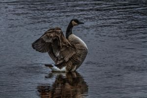 The Goose is on the Loose by Azph