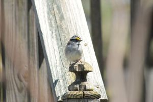 white throated sparrow by Laur720
