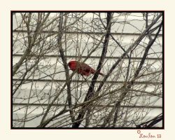 Cardinal by Loulou13