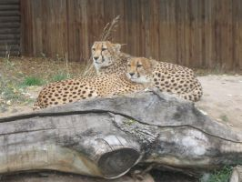 Loving Cheetahs Looking Out For Each Other by LivingForTheFuture
