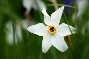 Spring bloomer by George---Kirk