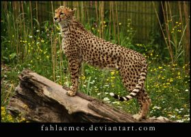 Cheetah 2 by Esveeka-Stock