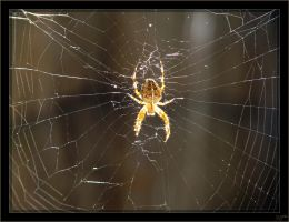 Araneus diadematus - 3 by J-Y-M
