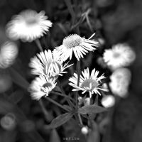 Daisy Day by MarinaCoric