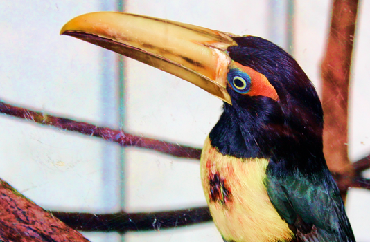 Complacent Toucan by Phiros