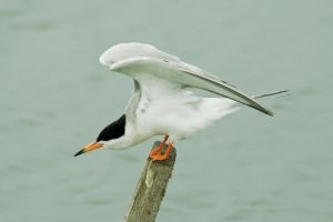 Tern on a Stick by robert-kim-karen