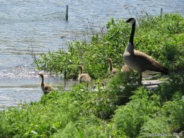 Goslings by bluefire4000