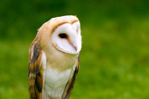 Barn Owl 3 by do7slash