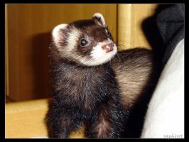 Ferret by Saphirot