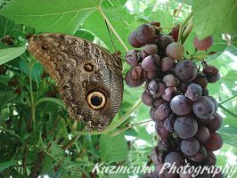 Owl Butterfly On Grapes by Alzipalz