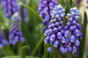 Hyacinth by johnchan