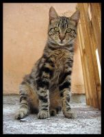 Corsican Cat by Fishermang