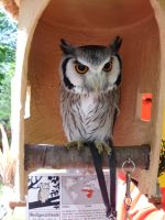 Northern White-faced Owl by JollyStock