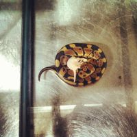 The Other Ball Python by parauboto