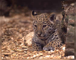 Jaguar Cub III by Narked-Photographer