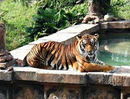Tiger Lounging by tkguess