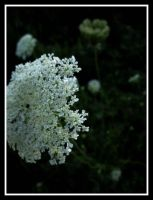 Queen Anne's Lace by Know-The-Ropes