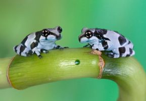 Two milk frogs by AngiWallace
