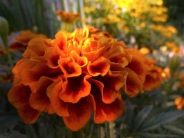 Tagetes by Lupsiberg