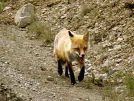 Red Fox Trot by Amberwolf874