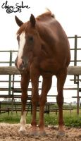 OLD - QH Mare - 2 by ElaineSeleneStock