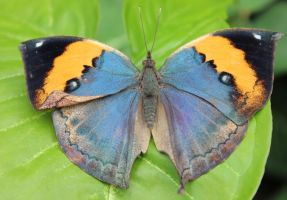 Butterfly 3 by MadForHatters