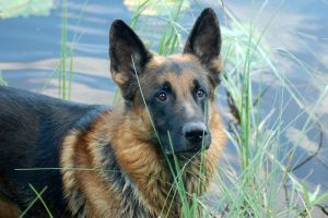Isor, the German Sheperd by Alexxaandraa