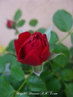 Red Rose... by Khrys90