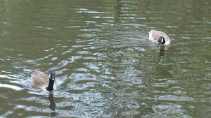More Geese to see by Dan-S-T