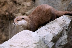 Asian Otter 11 by Art-Photo