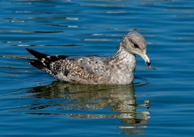 Speckled Seagull by PaulWeber