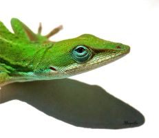 Carolina Anolis by FallOut99
