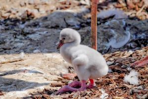 Baby Flamingo by Cyssoo