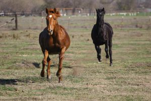 Thoroughbreds Galloping in Pasture by HorseStockPhotos