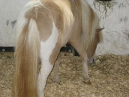 Miniature Horse Stock 1 by lee-mare
