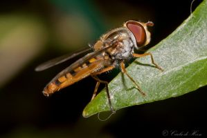 Hoverfly --zweefvlieg by carlahoon