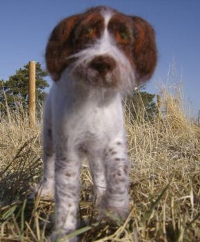 Wooliture German WirehairA by RoseThistleArtworks