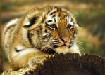 crouching cub by ariseandrejoice