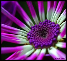The Purple Jewel by carterr