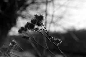 Thistles of Last Summer by BAproductions