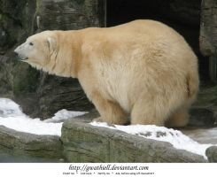 Zoo - Polar bear by Gwathiell