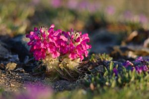 Pedicularis lanata by HerrHaller