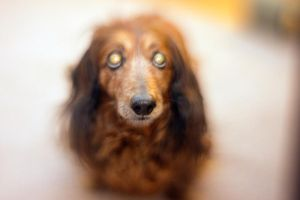 Dachshund I by LDFranklin