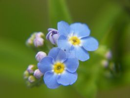 Perfect Petal 4- Forget-me-not by ObliviousMind