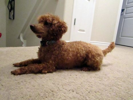Toy Poodle 18 by Andahliasaur