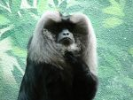 Lion-Tailed Macaque by SierraMikainLatkje