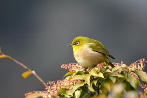 Japanese White-eye by KumaBokko